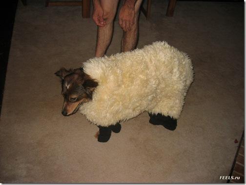 mouton et chien de berger