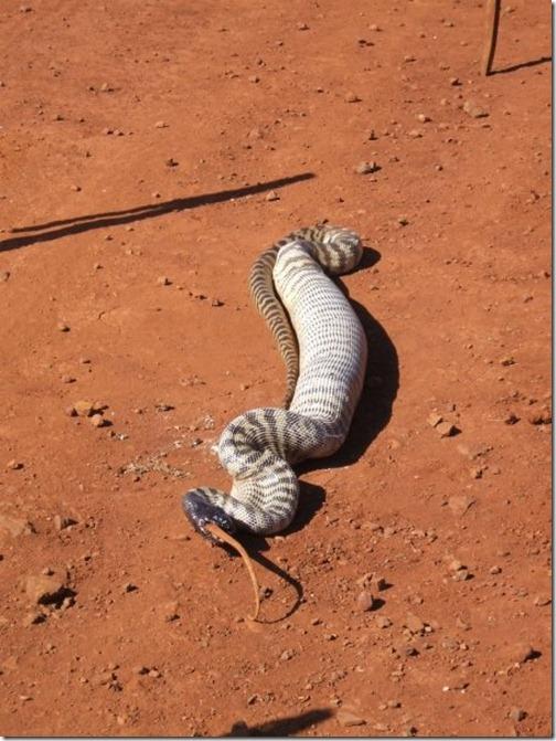 Snake-eats-lizard-08