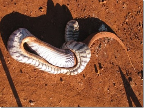 Snake-eats-lizard-11